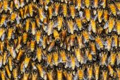 Texture of bee worker holding together — ストック写真
