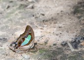 Commob Nawab butterfly — Stock Photo