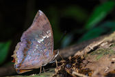 The scarce rajah butterfly is sucking food  — Stock Photo