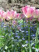 Tulips In Full Bloom In Nature — Stock Photo