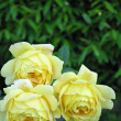 Yellow Roses — Stock Photo #53263357