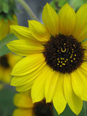 Yellow Flower in Full Bloom — Zdjęcie stockowe