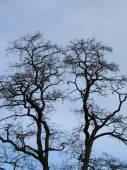 Silhouette Tree Tops — Stock Photo