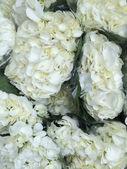 Bouquets of hydrangeas — Stock Photo