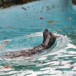 Seal Fur Animals Enjoying Their Environment — Stock Photo #57163313