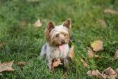 Yorkshire Terrier Dog Playing in the Yard — Stock Photo