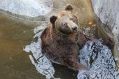 The Bear Sits in the Water and Resting — Stock Photo