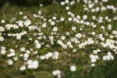 Field Chamomile and Green Grass — Stock Photo