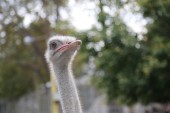 Ostrich Farm, ostriches looking at the camera and posing — Stock Photo