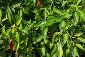 Hot pepper plant bush — Stock Photo
