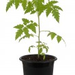 Tomato plant in pot over white background — Stock Photo #65198995