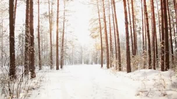 Madera de pinos nevados — Vídeo de stock