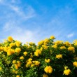 Yellow spring flowers on the tree over blue sky — Stock Photo #60936613