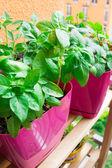 Fresh basil in pot on balcony garden — Stock Photo