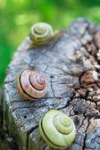 Snails on wood — Stock Photo