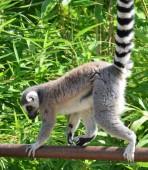 Lemur — Stock Photo
