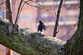 A blackbird is on the branch of a tree — Stock Photo