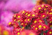 Beautiful chrysanthemum in autumn garden — Stock Photo