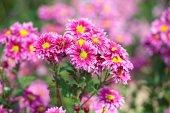Crisantemo hermoso jardín otoñal — Foto de Stock