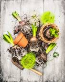Bulbs and buds hyacinth garden shovel and flower pots on withe gray wooden background, spring gardening — Stock Photo