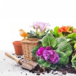 Garden set with primrose flowers, pots and scoop on gray wooden table, white background — Stock Photo #66142665