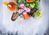 Spring flowers potting with garden tools, pots and soil, on gray wooden table , top view, — Stock Photo