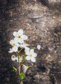 Cherry flower on dark old wooden background — Stock Photo
