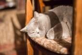 Красивая голубая британская короткошерстная кошка спит на дому — Стоковое фото