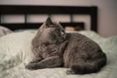 Blue british Shorthair Cat on the bed — Stock Photo