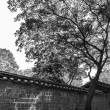 Black and white picture of a fine tree at the wall On the territory of Changdeokgung Palace, Seoul, Korea — Stock Photo #71021373