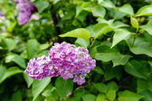 Flowering of lilac in the garden — Photo