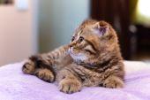 Escocês gatinho deitado sobre uma almofada rosa em casa — Fotografia Stock
