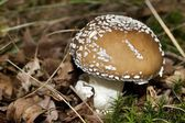 Mushroom - panther cap - Amanita pantherina — Stock Photo