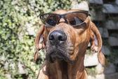 родезийский риджбек с солнцезащитные очки, детали, смешные фото — Стоковое фото