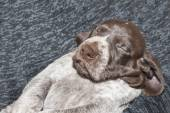 Contented sleep, German shorthaired pointer puppy, one month old — Stock Photo