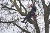 An arborist using a chainsaw to cut a walnut tree, dangerous work — Stock Photo