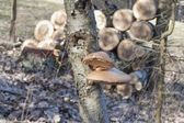 Birch Polypore - Piptoporus betulinus on Birch tree - Betula pendula. The fungi will help the tree to decay and return the nutrients to the soil. Blurred background — Stock Photo