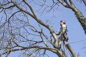 An arborist using a chainsaw to cut a walnut tree, tree pruning — Stock Photo