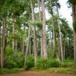 Pine grove — Stock Photo #52913653