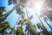 Pine trees under the sun — Stock Photo