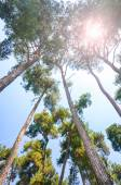 Pine trees and sun — Stock Photo