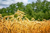 Ripe ears of golden wheat. — Stock Photo