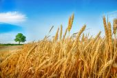 Wheat ears and tree — Stock Photo