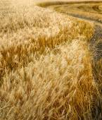 Wheat ears in the wind — Stock Photo