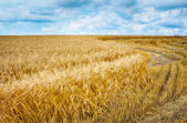 Wheat field under clouds. — Stock Photo