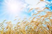 Wheat ears under sun — Stock Photo