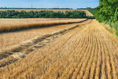 Stubble and chaff after wheat harvesting — Stock Photo