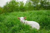 Young goat lying down — Stock Photo