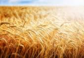 Golden wheat field and sun — Stock Photo