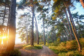 Pine grove — Stock Photo